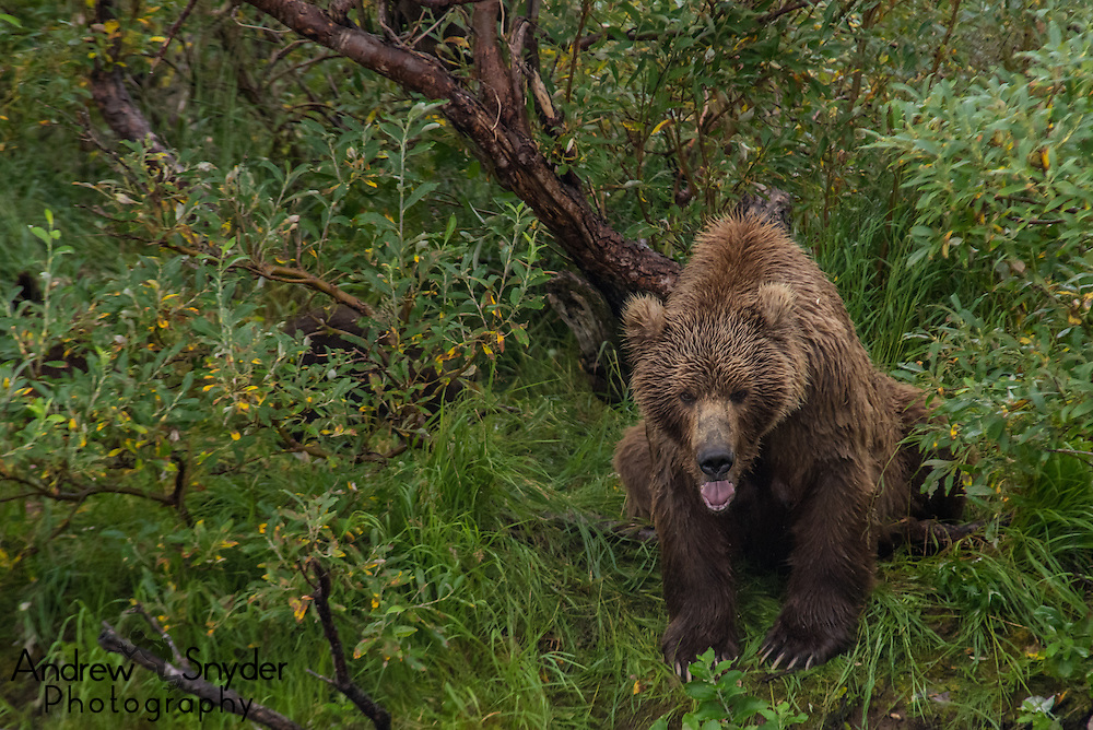 A large sow sits on the bank of the river - Katmai, Alaska