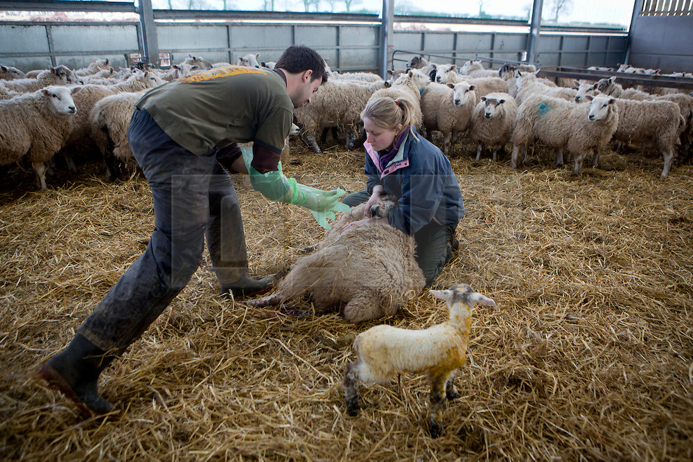 © Licensed to Alison Baskerville. 01/04/2013. Abbots Bromley, Staffordshire.  James, a veterinary student and Caroline a trainee veterinary nurse work round the clock to help Andrew Froggat, 46 a local sheep farmer lamb his flock of 2400 sheep.  Andrew who has been farming sheep for the past 23 years has faced one of his coldest and toughest seasons to date.  As a family owned farm it's been all hands to the deck as they work around the clock to make sure all the lambs are born healthy and alive. Starting as a shepherd and with just 12 sheep Andrew has worked his way upto become one of the largest sheep farmers in Staffordshire. Photo credit: Alison Baskerville/LNP