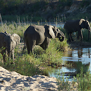 African elephants drinking from the Sand River, Malamala Gam Reserve, South Africa.