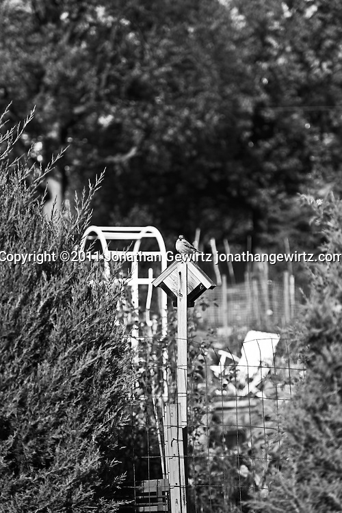A sparrow perches on a wooden bird house in a community garden (B&W). WATERMARKS WILL NOT APPEAR ON PRINTS OR LICENSED IMAGES.