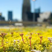 Nederland Rotterdam 29-05-2009 20090529 Foto: David Rozing .Op het dak van de centrale bibliotheek aan de Oostblaak is groene dakbedekking aangelegd, gele en roze bloementjes vetplanten en mos soorten. Op de achtergrond een deel van de skyline van Rotterdam centrum, Laurenskerk. De gemeente stimuleert het aanleggen van groene daken met subsidies. Het dak wordt bedekt met sedums, een soort vetplant. The roof of a building is covered with plants. The building of so called green roofs is stimulated by the city of Rotterdam.Holland, The Netherlands, dutch, Pays Bas, Europe , leefmilieu, Daken met begroening,Sedumdak,Kruidendak, Grasdak,vegetatiedak, energiebesparing, energie besparen, begroeiïng..Foto: David Rozing