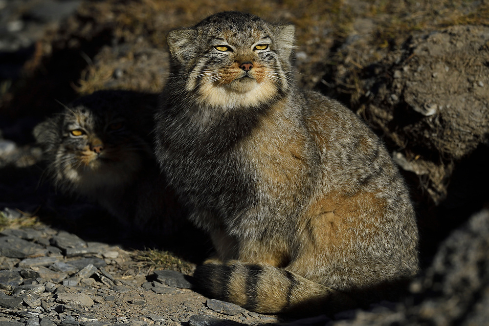 Pallas's cat (Otocolobus manul), also called the manul sitting in the mountain landscape of china, Tibetan Plateau 5000 m asl, Qinghai, China