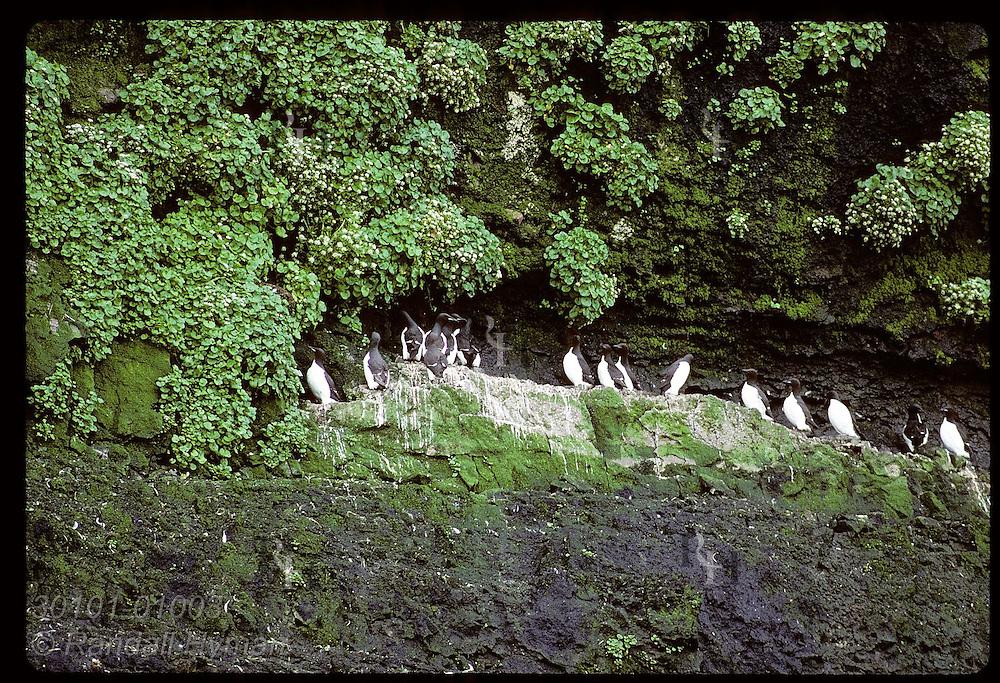 Murres line up on ledge of ocean cliff framed by green vegetation on Hornbjarg coast; West Fjords. Iceland