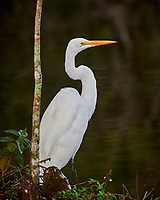 Great Egret hunting in Big Cypress Swamp. Image taken with a Nikon Df camera and 80-400 mm Vr lens (ISO 1600, 400 mm, f/5.6, 1/640 sec).