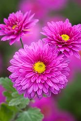 Chrysanthemum 'Bretforton Road'