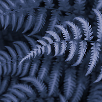 """""""Fern in Blue""""<br /> <br /> Beautiful fern patterns in blue monochrome!"""