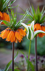 Fritillaria imperialis - Crown imperial - with Tulipa 'Greenstar' syn. 'Green Star'