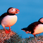 Puffins (Fratercula arctica) basking in warm, red sunlight of dawn during the Arctic summer season in Iceland.
