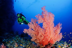 Dendronephthya klunzingeri, Weichkorallen, Korallenriff mit Stachelige Prachtkorallen und Taucher, Coralreef with klunzingeris soft coral, Paradise Riff, Rotes Meer, Paradise Reef, Red Sea, Egypt