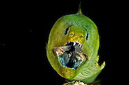 Jaws, Green Moray Eel, Gymnothorax funebris, Ranzani, 1840, Grand Cayman