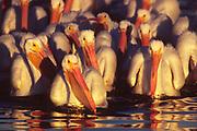 Flock of American White Pelicans swimming at sunrise.(Pelecanus erythrorhynchos).Bolsa Chica Wetlands,California