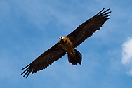 The bearded vulture is the only bird in the world that feeds on bones and their content, the marrow, an ultra-proteic food that manages to nourish this bird with exceptional dimensions. The game of throwing bones from above only serves to crush them and make them swallowable.<br /> This bird is also one of the largest flying beings on our planet, with a wingspan that can reach 280 cm.