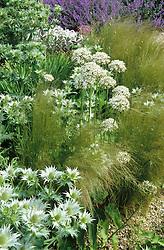 Textural foliage association in Beth Chatto's gravel garden. Stipa tenuissima, Eryngium giganteum and Allium 'Nigrum'