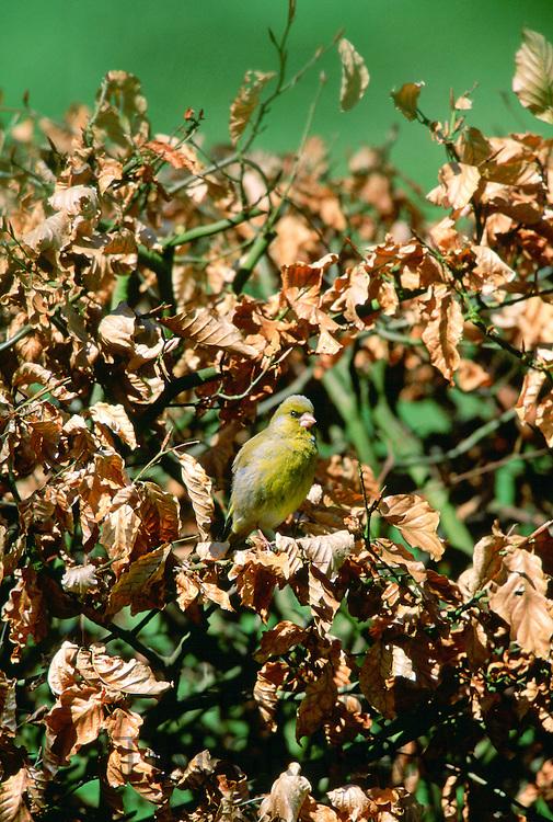 Greenfinch bird in a Beech hedge, Swinbrook, Oxfordshire, United Kingdom.