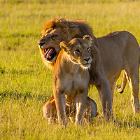 Mating Lion Pair. Massai Mara, Kenya