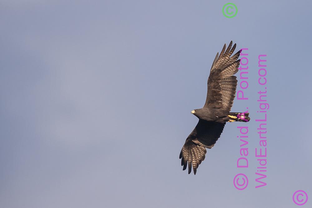 Zone-tailed hawk in flight, New Mexico, © David A. Ponton
