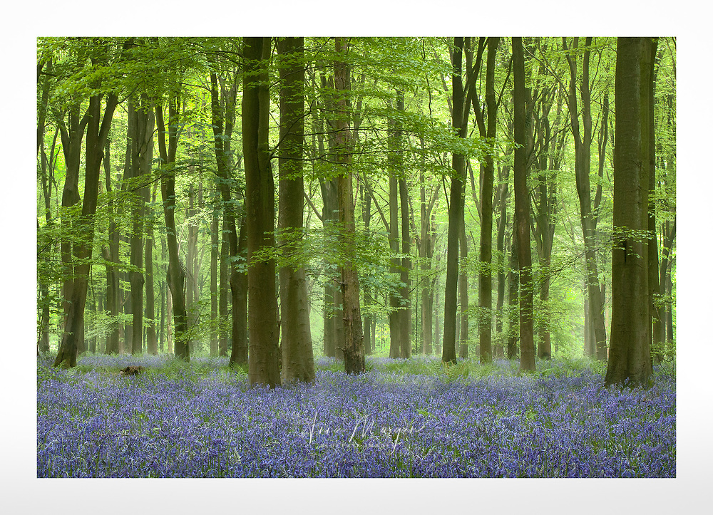 Bright green canopy of trees over a carpet of spring bluebells in Southern England