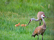 EARLY WORM   A family of sandhill cranes (Grus canadensis) on the early morning excursion through a small wetland in Scapegoat Wilderness. Male introduces 3 day old chicks to earthworms. In coming days chicks will gradually learn to forage by themselves, acquiring complete independence from parents by about six weeks of age.