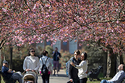 © Licensed to London News Pictures. 19/04/2021. London, UK. Members of the public take a selfie in an avenue of cherry blossom trees during sunny weather in Greenwich Park in South East London. Temperatures are expected to rise with highs of 17 degrees forecasted for parts of London and South East England today . Photo credit: George Cracknell Wright/LNP