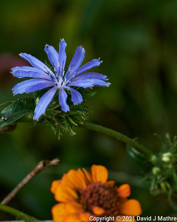 Chicory. Image taken with a Nikon D850 camera and 70-300 mm VR lens.