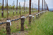 Pinot Noir clones grafted onto older Chardonnay root stock, Square Peg Winery, Sebastopol, California