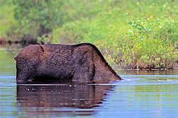 Moose With Head Underwater