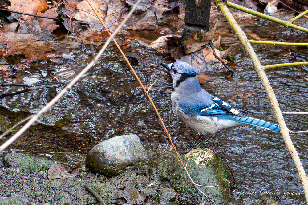 Although very common in New York, the Blue Jay is a beautiful bird; The Central Park Ravine, March 24, 2021.