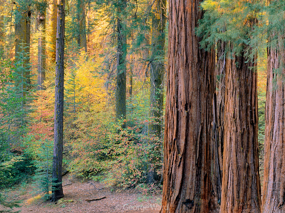 Giant Sequoias in Fall in the Merced Grove,Yosemite National Park, California