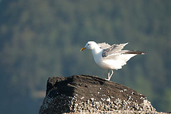 Gull, Orcas Island, San Juan Islands, Washington, US