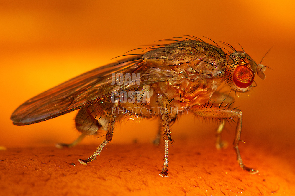 01/Noviembre/2012 Islas Baleares. Ibiza.<br /> Una mosca posada sobre un níscalo en el bosque.<br /> <br /> ©JOAN COSTA