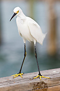 Yellow-Footed Snowy Egret, Egretta thula,  on Anna Maria, Island, Florida, USA