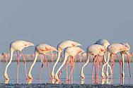 Rosaflamingo (Phoenicopterus ruber) bei der Sowa Pfanne in Botswana. Flamingoes at Sowa pan in Botswana.