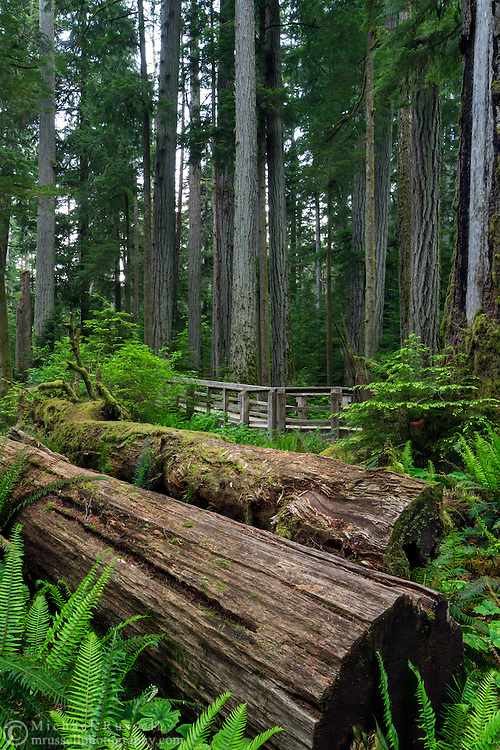 Two fallen trees at Cathedral Grove in Macmillan Provincial Park near Port Alberni, British Columbia, Canada