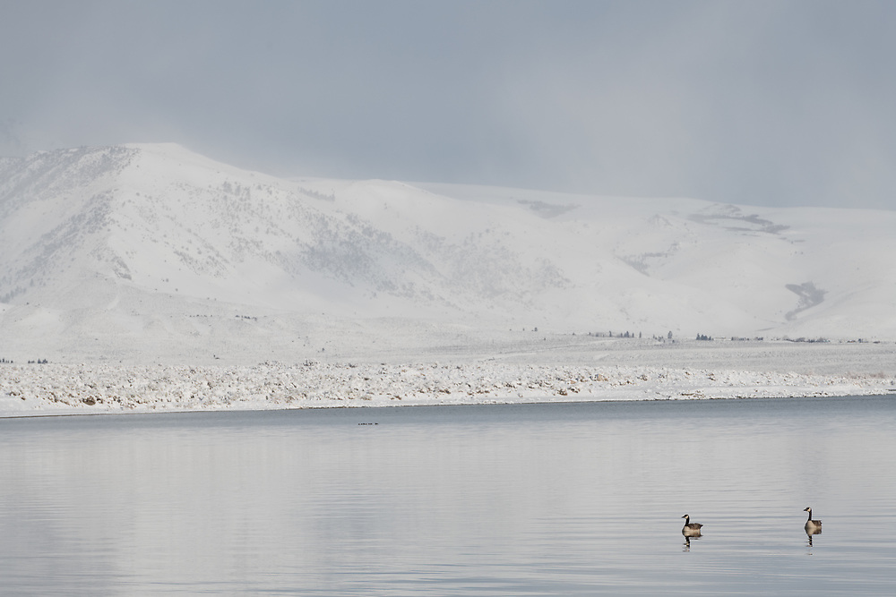 Two Canada Geese float on the waters of Mono Lake