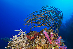 Porous Sea Rods, Pseudoplexaura sp., Knobby Sea Rods, Eunicea sp., Stove-pipe Sponge, Aplysina archeri, many kinds of sponge species and stony corals, thriving, West End, Grand Bahama, Atlantic Ocean