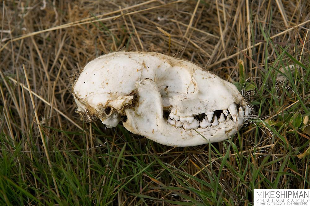 Idaho, Canyon County, Snake River, Deer Flat National Wildlife Refuge, young coyote skull