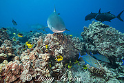 tiger sharks, Galeocerdo cuvier, swim over coral reef with bluefin trevally or omilu, giant trevally or ulua, racoon butterflyfish, and other reef fish, Honokohau, Kona, Big Island, Hawaii, USA ( Central Pacific Ocean )