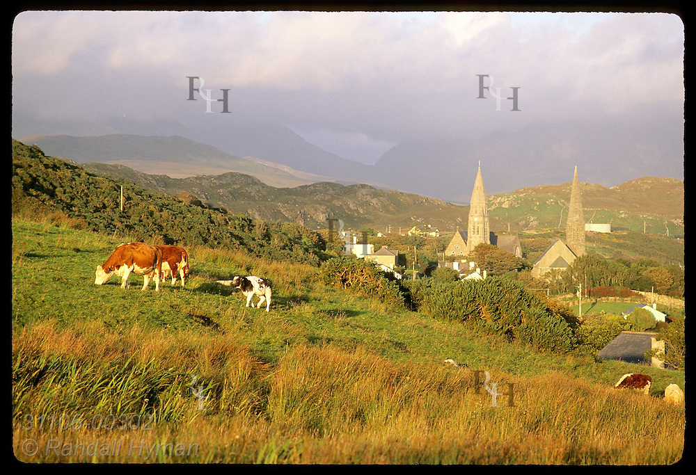 Cattle graze in pasture above Clifden, Connemara's principal town, with Twelve Bens mountains in clouds; County Galway, Ireland.
