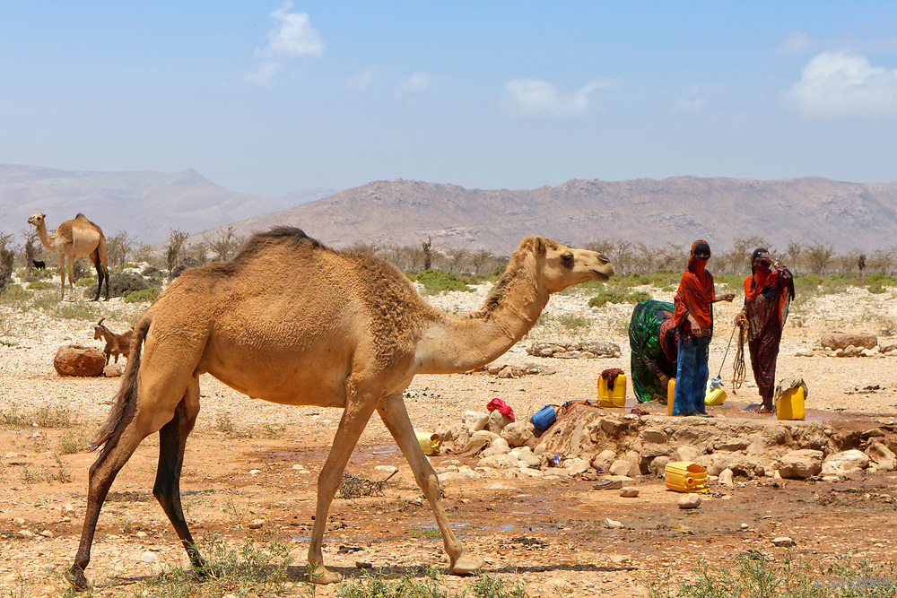 Women and dromedary or Arabian camel (Camelus dromedarius) in a water well, Socotra island, listed as World Heritage by UNESCO, Aden Governorate, Yemen, Arabia, West Asia