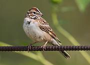 Lark Sparrow, Los Poblanos Community Garden, Los Ranchos, New Mexico