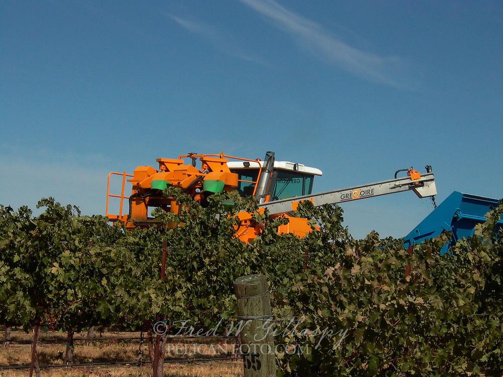 Wine Grape Harvest 0031