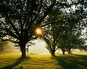 Morning sun shining through Pecans, Carya illinoensis, and fog in Greene County north of Eutaw, Alabama.