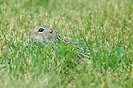 Thirteen-lined Ground Squirrel - Ictidomys tridecemlineatus