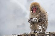A sub-adult snow monkey sitting on edge of hot spring, (Macaca fuscata)   , Jigokudani, Yamanouchi, Japan