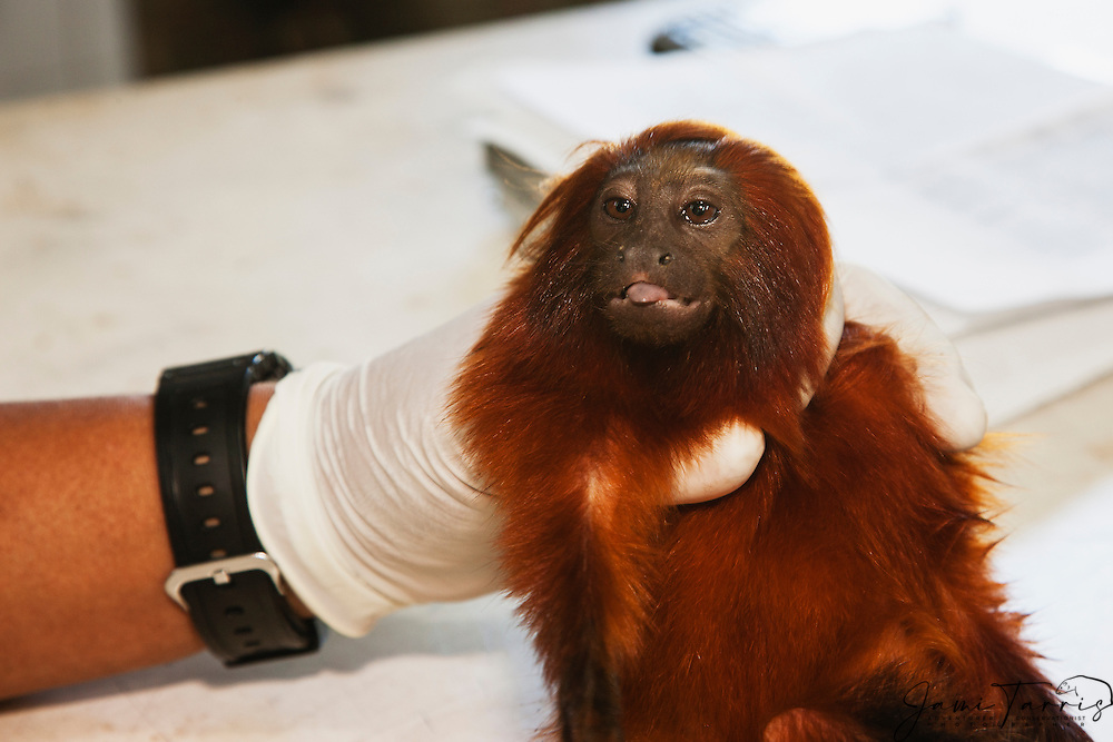 A research biologist gently handling a tranquilized golden lion tamarin in the lab (Leontopithecus rosalia) ,Brasil, South America