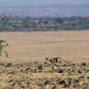 Cheetah, (Acinonyx jubatus) Chasing Thomson's Gazelle. Masai Mara Game Reserve. Kenya. Africa.