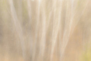 Intentional camera movement (ICM) of trees<br />Sandilands Provincial Forest<br />Manitoba<br />Canada