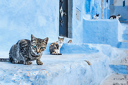Five cats in blue alley, Chefchaouen, Morocco
