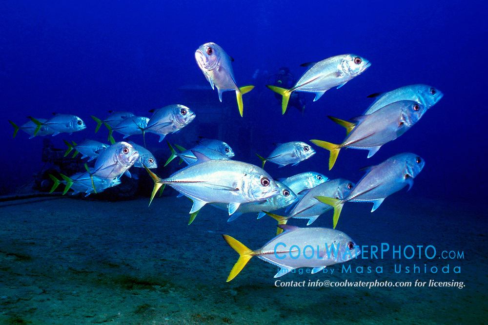 shool of horse-eye jacks, Caranx latus, Etheridge wreck, Freeport, Grand Bahama, Bahamas, Caribbean, Atlantic Ocean