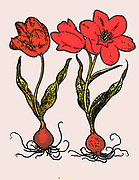 hand painted copperplate print of Tulip. From Hortus Eystettensis, by Basilius Besler, published in 1613.